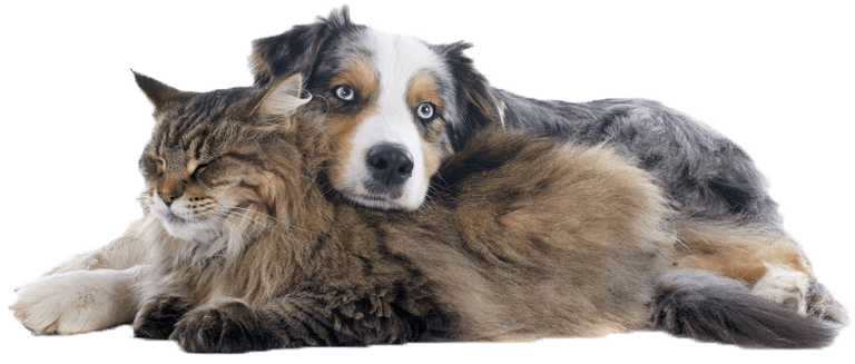 cat and dog cuddling. dog is an Australian Shepard and had face on cats back. cat is brown and grey longhair with eyes closed